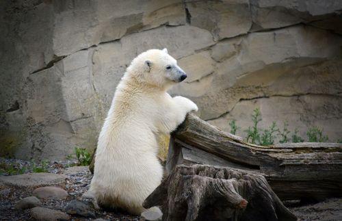 Baltoji meška,jaunas baltas lokys,balta,jaunas,baltojo lokio vaikas,turėti,mielas,jaunas gyvūnas