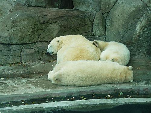 baltos lokys,sniegas,svajonė,žiemos svajonė,žiema,zoologijos sodas,laukiniai,gyvūnai