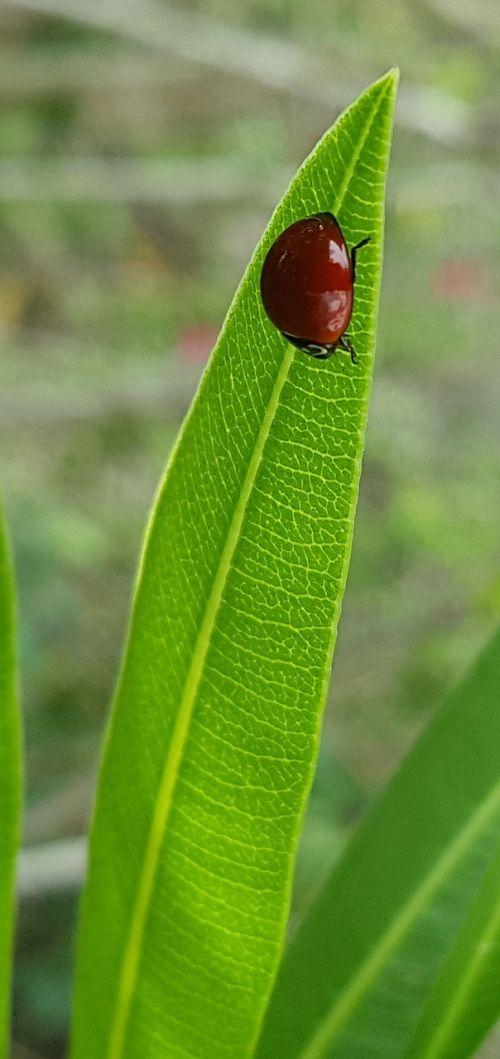 poliruoti lady vabalas,dami vabalas,Boružė,klaida,vabalas,vabzdys,skraidantis vabzdys,oleander lapų,lapai,raudona,berniukas,mažas,Iš arti,biologija,entomologija,cycloneda munda
