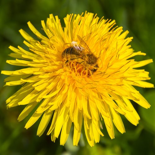 žiedadulkės, bičių, kiaulpienė, bičių žiedadulkes, žiedas, žydi, apdulkinimas, vabzdys, medaus BITĖ, pavasaris