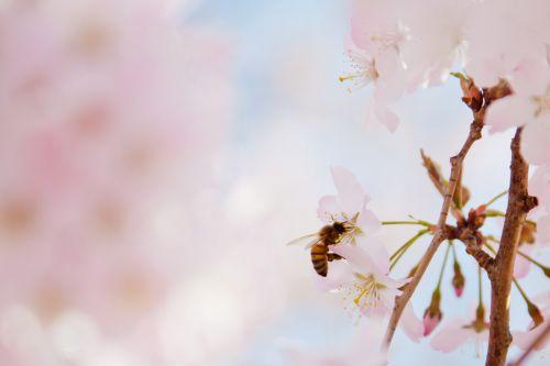 gyvūnas, bičių, žiedas, vyšnia, Iš arti, gėlių, gėlė, medus, vabzdys, gamta, nektaras, žiedlapis, rožinis, žiedadulkės, išplistų, apdulkinimas, apdulkinimas, sezonas, pavasaris, bičių apdulkinimas