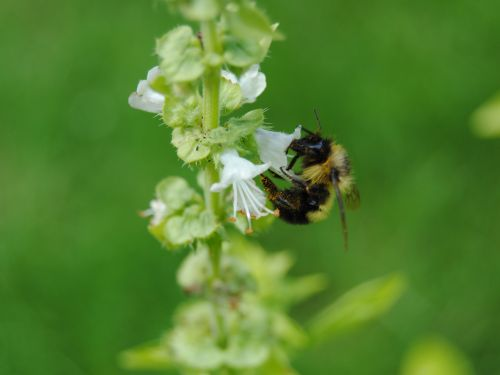 bičių, bitės, apdulkinimas, gėlė, vasara, sezonas, gamta, vabzdys, klaida, kamanė, apdulkinimas