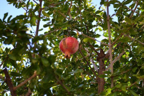 granatas,vaisiai,botanika,krūmas,gamta,sveikata