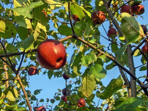 obuoliai, obuolių & nbsp, medis, vaisiai, obuoliai
