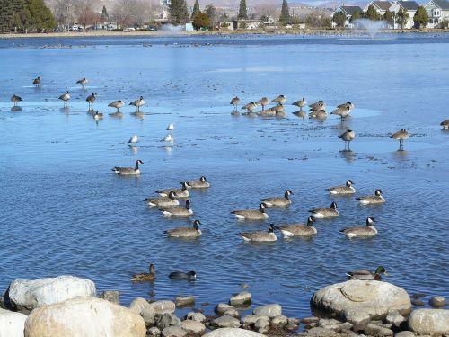 tvenkinys,Kanados žąsys,migracija