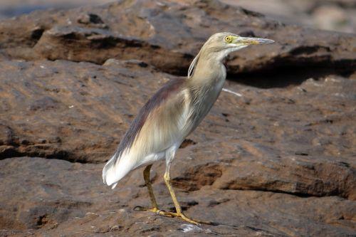 tvenkinys,heronas,paukštis,ardeola grayii,paddybird,Indijos tvenkiniai heronai,Wader,persekiotojas,Indija