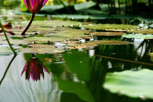 tvenkinys, tvenkinys augalų, pobūdį, tvenkinys gėlė
