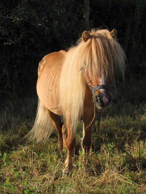 gyvūnas, ponis, gyvūnai, arklys, arkliai, Boulogne, ponis ant pievos