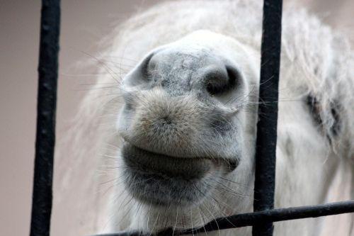 ponis,snukis,mažas arklys,baltas ponis,zoologijos sodas,šnerves,lūpos,nelyginiai nagai,lauro ponis,grotelės,gyvūnas