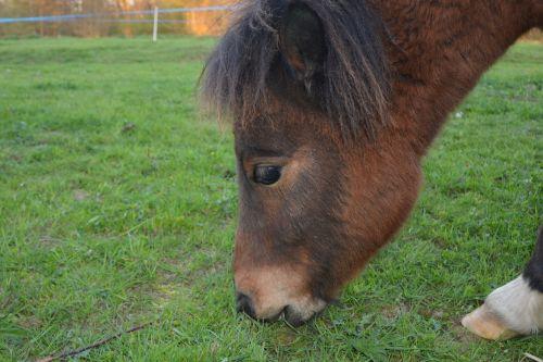 ponis,Shetland ponis,jaunas ponis,valgyti žolę,atrajotojas,kūdikių ponis,gyvūnas,gamta,mažas arklys,Jodinėjimas arkliu,spalva ruda balta