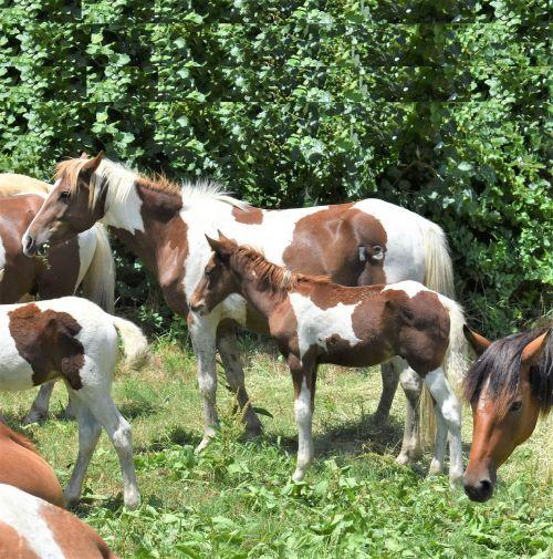 ponis,Chincoteague ponis,ponis penning,laukinis ponis apskritimas,arklys,padėjėjas,pinto