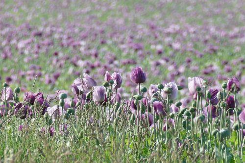 aguonos,aguonų laukas,aguonos gėlė,aguona,gamta
