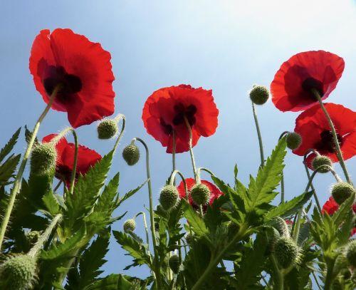 aguonos raudona,raudonos gėlės,žali lapai,aguona,raudona,gėlė,Šalis,raudona gėlė,laukas,dangus,mėlynas