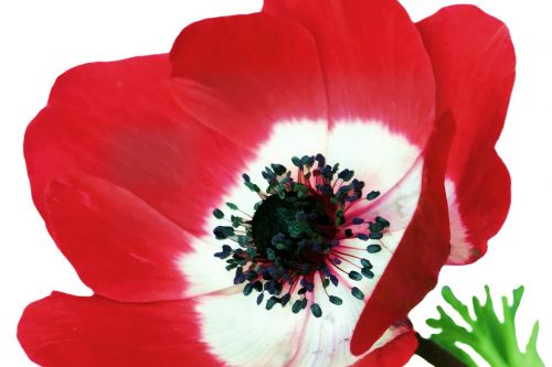 aguona,gėlė,trapi,žydėti,žydi,spalva,spalvos,flora,raudona,žiedadulkės,augalas,žiedlapis,nektaras,gamta,lapai