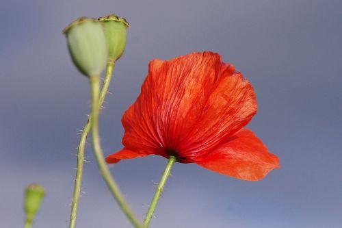 aguona,žiedas,žydėti,raudona,gėlė,Uždaryti,šviesa,gamta,pieva