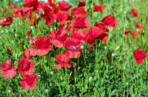 aguona,gėlė,žiedas,žydėti,žydėti,raudona,laukas aguonos,gamta