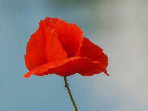 aguona,raudona aguona,aguonos gėlė,gėlė,žiedas,žydėti,augalas,trapi,saulės šviesa,vabzdys