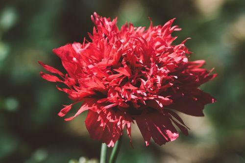 aguona,raudona,raudona aguona,gėlė,aguonos gėlė,žiedas,žydėti,gamta,augalas,mohngewaechs,užpildyta aguona,sodas,Sode,Uždaryti,gėlių fotografija