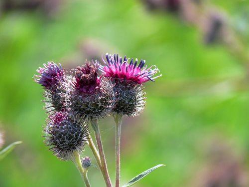aguona,gamta,išsamiai,raudona aguona,gėlė,Uždaryti,klatschmohn,agurkas,aufbrechender aguona,laukinės vasaros spalvos,žalias,žiedlapis,Vokietija,aguonos gėlė,augalas,žiedas,žydėti,klaschtmohn,vasara,laukas