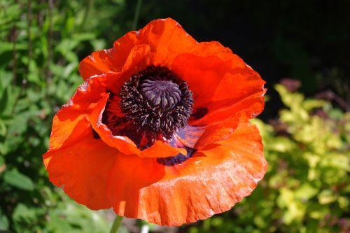 aguona,raudona gėlė,spalvinga,raudona,žiedas,žydėti,laukinės gėlės,klatschmohn,Uždaryti,gėlė,vasara,kontrastas,kraštovaizdis,pieva,gamta,aguonos gėlė,raudona aguona