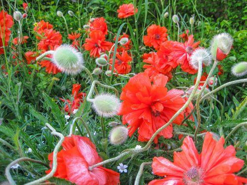 aguona,gėlė,vasara,ugnis-mohn,raudona,aguonos gėlė,žiedas,žydėti,raudona aguona,turkų aguona,perenn-mohn,sodininkystė aguonų,rytietiška aguona,gamta,aguonų kapsulė,augalas