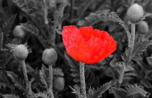 aguona,aguonos gėlė,gėlė,raudona aguona,raudona,žiedas,žydėti,gamta,laukas aguonos,juoda balta,Iškirpti,kontrastas,gražus,raudona gėlė,raudona aguonos gėlė,išsišakojusios,kartus