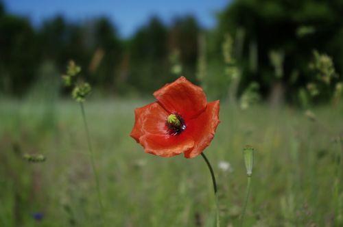 aguona,gėlės,raudona aguona,gamta,raudona,turkų aguona,laukas aguonos,aguonos gėlė,sodas,laukinės vasaros spalvos,Vokietija,žiedas,žydėti,laukinis augalas
