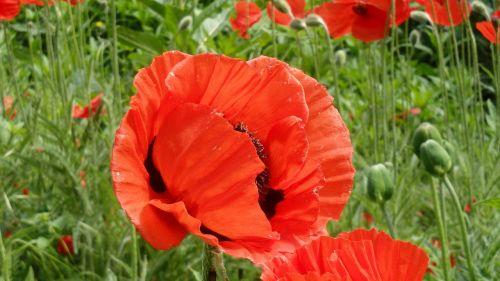 aguona,gėlė,raudona aguona,gamta,žiedas,žydėti,raudona,rytietiška aguona,mohngewaechs,sodas,pavasaris,Vokietija,augalas