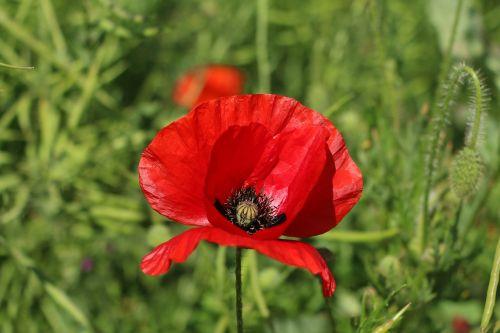 aguona,gėlė,raudona,wildflower,pavasaris,žydėjimas,lapai,gamta,lauke,žiedadulkės,augalas,spalvinga,Uždaryti,žiedlapis,dėmesio
