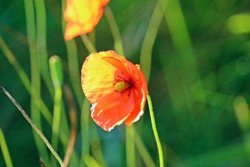 aguona,žiedas,žydėti,vakarinė šviesa,saulė,raudona aguona,gėlė,aguonos gėlė,rytietiška aguona,klatschmohn,gamta,vasara,sodininkystė aguonų,mohngewaechs,laukinės vasaros spalvos