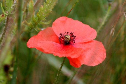 aguona, gėlė, botanika, raudonos gėlės, žydėjimo, žiedlapiai, laukai, laukas