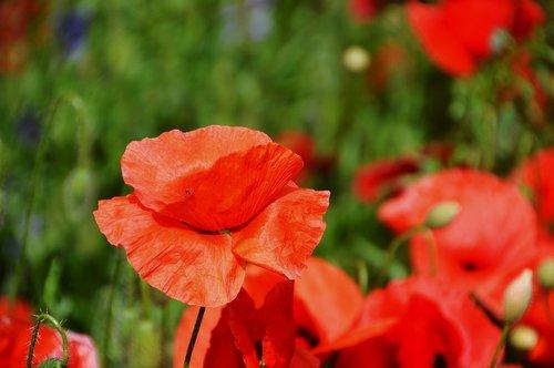 aguona, gėlė, floros, raudona gėlė, šeimos aguonų, laukas, iš anksto, žalias, Sodas, Žiedlapis, Žiedlapis baudą