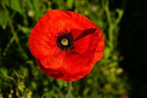 aguona, žiedas, žydi, raudona, meistriškos, švelnus, Sodas, siuvinėjimas, vasara, pobūdį, gėlė, floros, Klatschmohn, Iš arti, mohngewaechs, aguonos gėlė, gėlės, suklestėjo