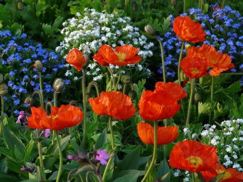 aguona,klatschmohn,lova,parkas,geliu lova,gėlių sodas,sodas,raudona,gražus,spalvinga,linksmas