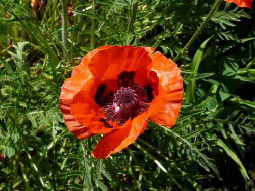 aguona,oranžinė,raudona,gėlė,pavasaris,sodas,žydėti