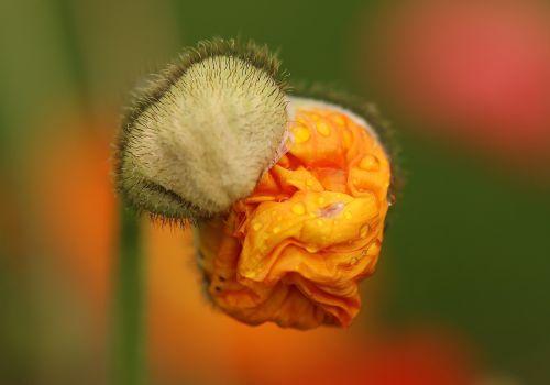 aguonos gėlė,žiedas,aguona,budas,sulankstytas,mohngewaechs,makro,gamta,gėlės,šviesus,sprogo,plaukuotas,agurkas,spalva,flora,augalas,Uždaryti,lašiša,oranžinė,žalias