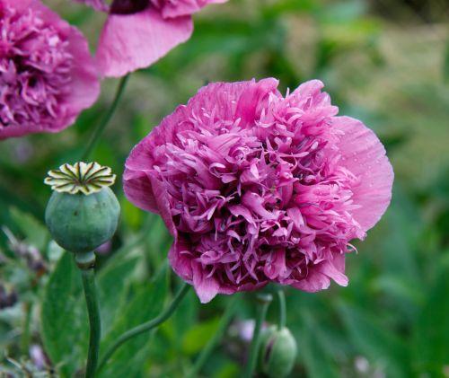aguona, gėlė, galva, rožinis, milžinas, didelis, didelis, dvigubas, dvigubas & nbsp, žydėjimas, žydėti, sėklos & nbsp, pod, botanikos, Iš arti, detalės, sodas, lauke, gražus, gėlių, flora, pod, sėkla & nbsp, galva, aguonos gėlių rožinė