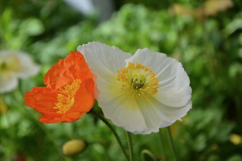 aguonos gėlės, gamta, masyvas, apdaila, gėlė, augalas, vasara, sodas, vasaros gėlė, pavasario sezonas, gėlių sodas, botanikos sodas, romantiškas sodas, be honoraro mokesčio