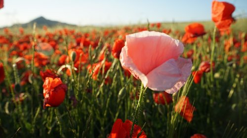 aguonų rožinės, laukinių gėlių, pavasaris, apapolas, gėlė, laukas, raudona, Grožio, raudonos gėlės, aguona, laukinių srityje, spalvos, laukinių gėlių, laukinių, delikatesu, raudona gėlė, aguonos gėlė, augalai, aguonų baltos spalvos, Papaver somniferum, Sodas, liūdna aguonos