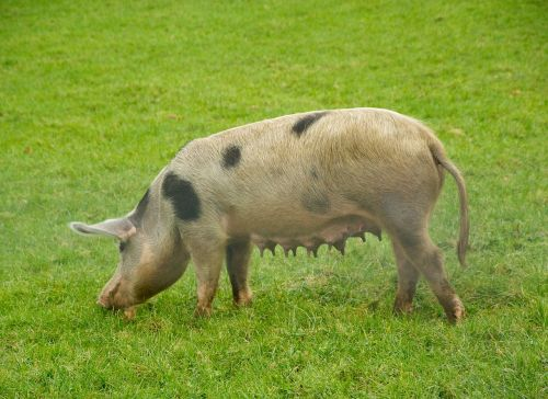 kiauliena,sėti,veisimas
