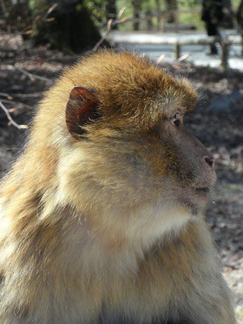 portretas,beždžionė,barbary ape,gyvūnas,gyvūnų portretas,veidas,naudos iš,malonumas,valgyti,kailis,pūkuotas,beždžionių portretas,Uždaryti,galva,laukinės gamtos fotografija,pusė,profilis