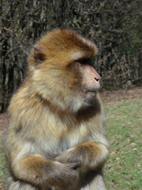 portretas,beždžionė,barbary ape,gyvūnas,gyvūnų portretas,pusė,kailis,pūkuotas,beždžionių portretas,Uždaryti,galva,laukinės gamtos fotografija,Moteris