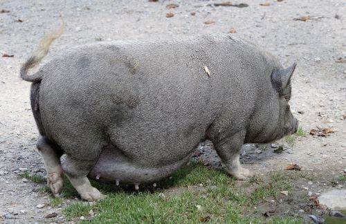 puodynė kiaulė,kiaulė,naminė kiaulė,gyvūnas,sėti,žinduolis,storas,purvinas,taikus,laukinės gamtos fotografija,patikimas,laiminga kiaulė,Moteris,šeriai,riebalai,naminis gyvūnėlis,masyvi,tingus