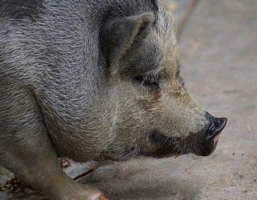 puodynė kiaulė,kiaulė,naminė kiaulė,gyvūnas,sėti,žinduolis,gyvuliai,storas,purvinas,taikus,laukinės gamtos fotografija,patikimas,laiminga kiaulė,Moteris,šeriai,naminis gyvūnėlis,masyvi,tingus,nykštukas hausschwein