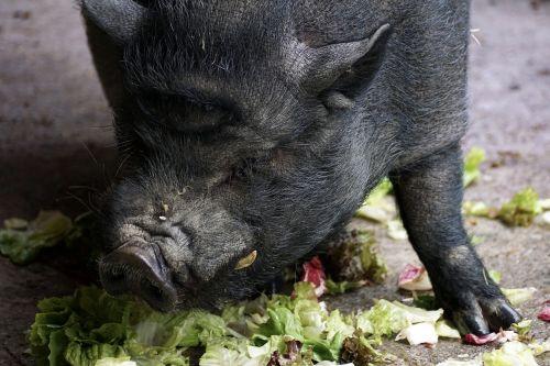 puodynė kiaulė,kiaulė,naminė kiaulė,gyvūnas,žinduolis,gyvuliai,storas,purvinas,taikus,laukinės gamtos fotografija,laiminga kiaulė,atsipalaidavęs,riebalai,šerių galvijai,masyvi,valgyti,salotos,daržovės,alkanas,badas