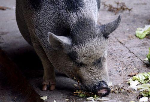 puodynė kiaulė,kiaulė,naminė kiaulė,gyvūnas,sėti,žinduolis,gyvuliai,storas,purvinas,taikus,laukinės gamtos fotografija,patikimas,laiminga kiaulė,Moteris,šeriai,riebalai,šerių galvijai,naminis gyvūnėlis,masyvi,tingus,laimingas,valgyti,alkanas,badas,salotos,daržovės