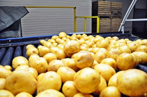 bulvės,rūšiavimas,plovimas daržovėmis,lemputė