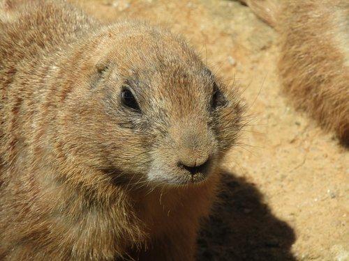 prairie šunys, žinduolis, Zoo, juoda-tailed Prairie šuo, Prahos Zoo