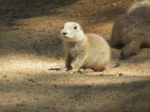 prairie šunys, Zoo, CUB, žinduolis, juoda-tailed Prairie šuo