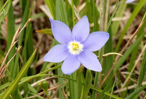 gamta, augalai, gėlės, mėlyna & nbsp, gėlė, wildflower, mėlyna & nbsp, wildflower, Oklahoma & nbsp, wildflower, Prairie & nbsp, pleatleaf, žalia žolė, laukinė & nbsp, žolė, Oklahoma, Šalis, laukas, prairie pleatleaf iris laukinės spalvos